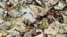 Một con nhái nằm lẫn trong đống lá khô