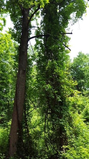 dây leo chằng chịt phủ kín cả cây