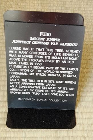 Chuyện xưa kể rằng cái cây này đã hằng mấy trăm năm, ở cạnh một ngôi nhà trên núi, ngó xuống dòng sông Ikotawa, bị ông Tahei bứng đi năm 1858. Nó trở thành tài sản, nằm trong bộ sưu tập của nhà sưu tập Bonsai nổi tiếng Kyuto Murata. Cây này chết năm 1971 chỉ vài năm sau khi được tặng cho Hoa Kỳ. Tính theo đường vân của cây, người ta ước đoán cây này được 800 năm. (Thế mới thấy, cái gì vào tay người Mỹ cũng chết cả), nói tầm xàm nên xin rút lại đoạn nằm trong ngoặc đơn, định dùng strikethrough nhưng không được. Xin lỗi người Mỹ :-)