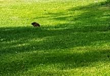 Ground hog ngồi thật xa, chạy ngay khi nghe tiếng động