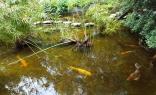 hồ cá có cỏ ô rô hay u ru hay u du
