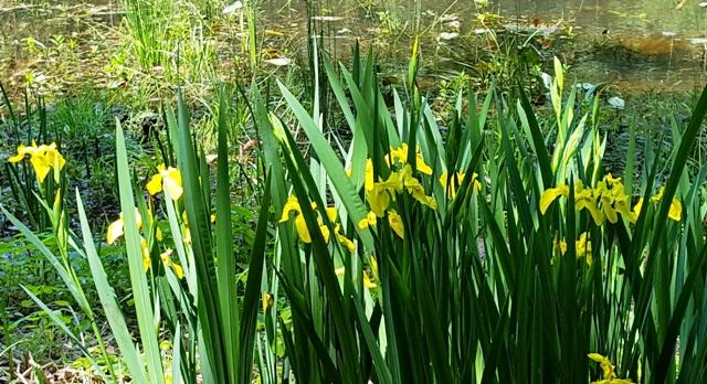 hoa diên vỹ vàng mọc hoang cạnh hồ