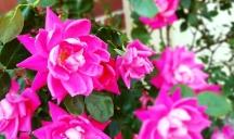 Hoa hồng có mấy bụi xum xuê dọc bờ tường bệnh viện Robert Johnson.