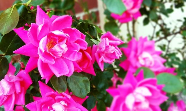 hoa hồng cạnh bờ tường nhà ai