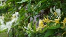 hoa honeysuckles, thơm ngào ngạt, mọc đầy trong rừng.
