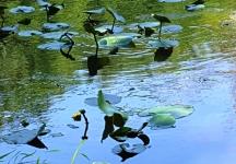 Cây Hoa Súng mọc tràn lan trên hồ Surprise. Nhìn thấy lá nhưng ít thấy hoa. Hoa màu vàng như hoa cúc và rất nhỏ như một quả banh tròn màu vàng nổi trên mặt nước, mấy tuần rồi vẫn chẳng lớn hơn chút nào