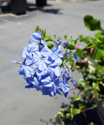 Hoa này thấy có một cô trên blog có viết tên nhưng tôi không ghi lại bây giờ không còn nhớ nữa. New note: Blog Viburnum1 nói hoa này là Plumbago, hay thanh xà, hay bạch xà, hay hoa đuôi công.