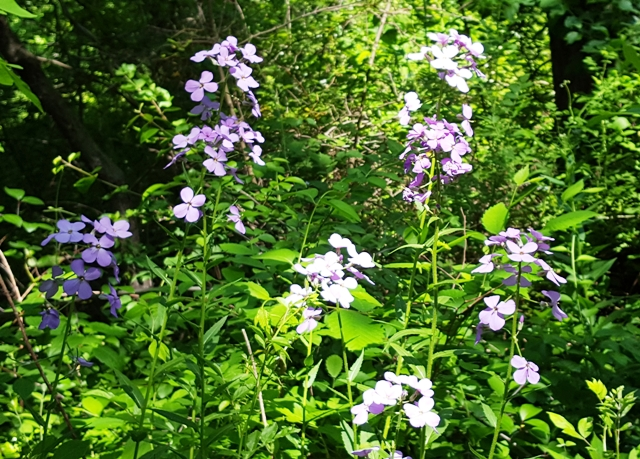 hoa tím mọc tràn lan trong rừng