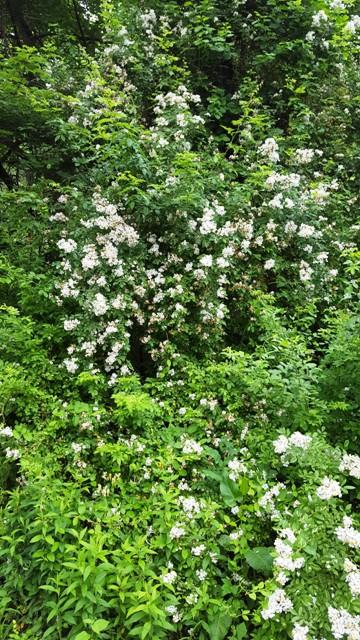 hoa trắng cả rừng