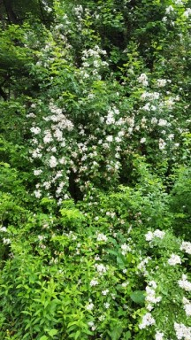 Hoa tường vi mọc hoang