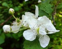 Hoa cùng loại với tường vi, nhiều gai nhụy lấm tấm đen, thơm ngát