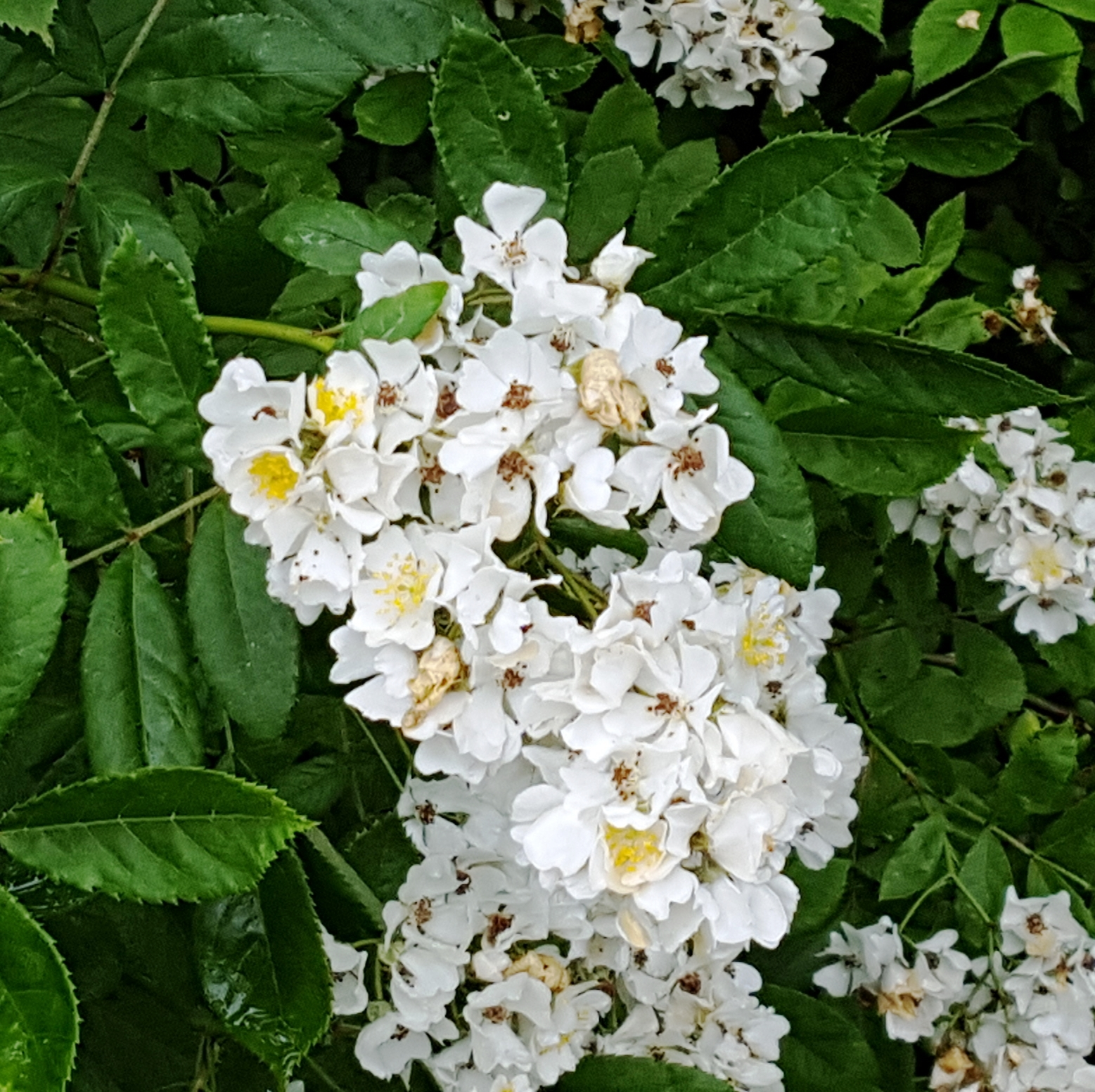 hoa trắng nhụy vàng