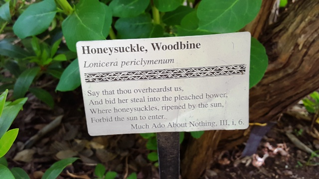 honeysuckle woodbine