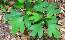 Lá của cây sassafra. Lá thơm nhè nhẹ dễ chịu
