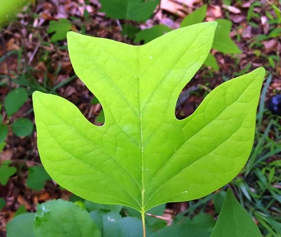 lá của cây tulip tree
