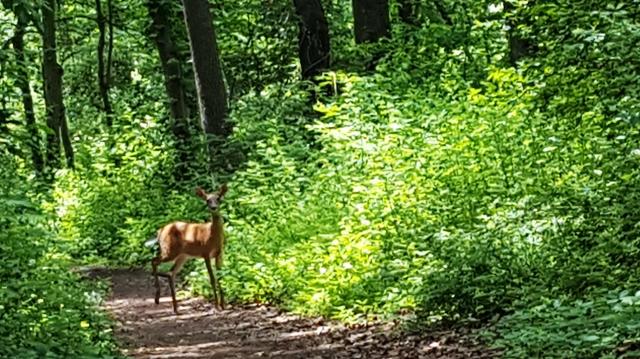 nai tơ ngơ ngác ngênh đón khách đi rừng