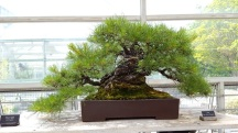 Pinus rigida Frank Okamura