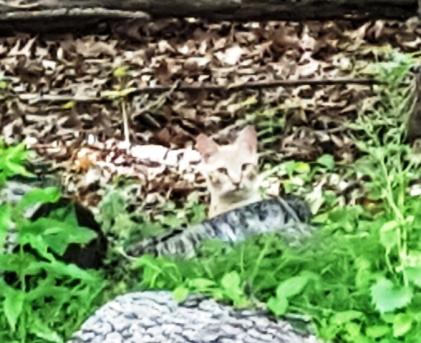 Tabby vui đùa với Boyfriend một lúc rồi nằm chơi trên đống lá, thỉnh thoảng ngóc đầu nhìn chung quanh
