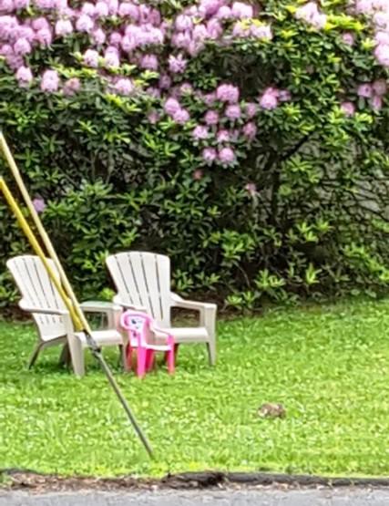 Bụi rhododendron nở xum xuê. Chủ trước, khi bán nhà đã cắt xén cho bụi cây nhỏ lại, vậy mà bây giờ, chỉ chừng hai năm mà nó đã có vẻ muốn che lấp căn nhà. Ba cái ghế như mời khách đến chơi, nhìn ghế biết nhà có vợ chồng và một bé gái. Tôi đang ngắm nghía ba cái ghế thì có con thỏ nâu chạy vào chỗ khung ảnh. Mùa này là mùa thỏ nâu xuất hiện. Tôi đi rừng cũng thấy hai ba con thỏ nâu.