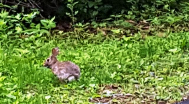 thỏ nâu (a hare)