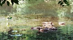 """Đàn vịt này chọn cái hồ """"Lake Surprise"""" làm nơi cư ngụ thường xuyên. Không chịu bay về hướng Bắc nữa."""