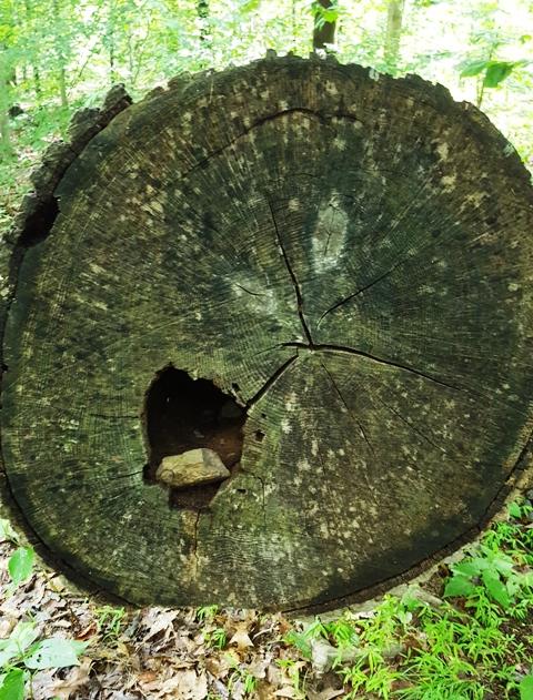 cây ngã nằm vắt ngang đường, người ta cưa một khúc làm thành lối đi, có bọng cây ai đặt vào viên đá