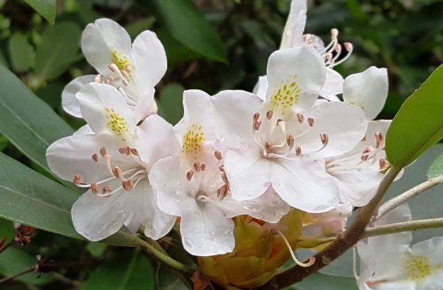 hình như rhododendron