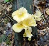 nấm vàng
