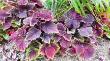 những chiếc lá màu tím giống lá tía tô