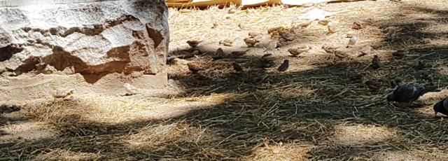 Đi ngang công viên Washington thấy người ta bỏ phế trở nên dơ dáy hoang tàn. Nhớ mấy năm trước người ta tổ chức chợ lộ thiên, hát nhạc jazz ở đây, mà bây giờ cỏ khô úa, rác rến tùm lum. Có bầy sẻ nhỏ ăn hạt cỏ dưới bóng của một tàn cây cao.