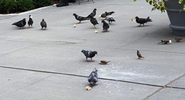 Đi ngang quảng trường của công viên Militaray thấy người ta cho bồ câu ăn bánh mì.