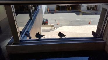 Đi ngang concourse gần văn phòng luật sư thấy bầy bồ câu đậu bên tường kính. Có ngày thấy bồ câu đậu ở đây, có ngày không thấy. Tôi cứ tưởng ngày nào nó cũng tụ về một nơi quen thuộc nào đó để gặp bạn bè, trò chuyện với nhau. Té ra không phải vậy. Bây giờ tôi tự hỏi, đàn chim mình gặp hôm nay có phải là đàn chim mình gặp hôm trước, hôm kia hôm kìa hay không.