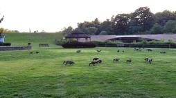 Đàn ngỗng Canada ở quanh hồ Watchung, đàn ngỗng càng lúc càng đông, mấy con ngỗng mới nở hồi đầu mùa xuân bây giờ đã thành ngỗng lớn cả.