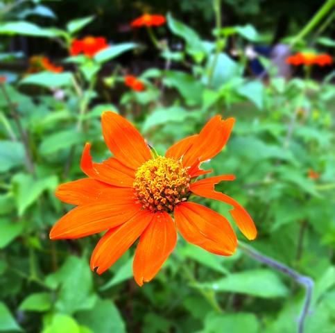 loài hoa rủ bướm