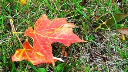 một chiếc lá thu rơi ở sân cỏ của một trạm dừng chân ở upstate New York. Tưởng rằng đến Ottawa sẽ thấy cây lá đổi màu, nhưng chưa.