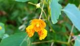 Hoa dại mọc thành từng bụi to, lá nhiều hoa lưa thưa, hoa rất nhỏ, nhìn gần thấy có lấm tấm màu đỏ cam, giống từa tựa lan.