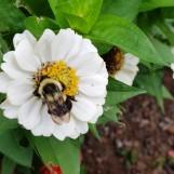 Hoa này thì cũng rất quen, không phải trà mi, nhưng thấy con ong nên nhớ đến mấy câu trong Kiều. Thôi rồi một đóa trà mi. Con ong đã tỏ đường đi lối về.