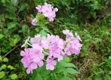 Hoa này tôi thấy rất quen nhưng không nhớ tên. Chẳng biết có phải phlox hay không