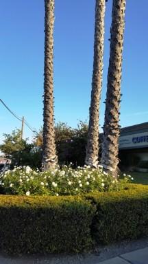 Buổi sáng đi dạo ở gần chỗ trọ Anaheim