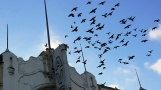 Đàn chim bồ câu đậu trên nóc và tường của rạp chiếu bóng trên đại lộ San Bruno