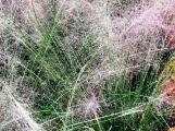 cỏ hồng chụp gần