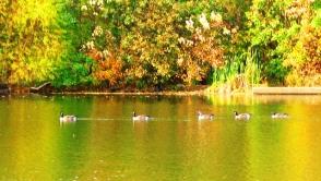 Năm con vịt đang bơi thành hàng như đi diễn hành