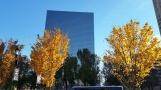 Hàng cây lá vàng đối diện với quảng trường trước công ty điện lực. Nguyên mấy chục cây đào hoa trắng (hay hoa lê không chừng) vẫn còn xanh um.