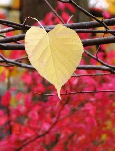 Chiếc lá bồ đề, phía sau là rặng cây lá đỏ. Bây giờ thì không nhớ là cây phong Nhật Bản hay cây Eastern redbud