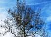 Cây sycamore rụng lá từ lâu. Năm nào tôi cũng muốn chụp ảnh cây này, mỗi lần nhìn nó lại nhớ câu hát, mùa thu với những cành khô, chiều mang hoa úa về đâu. (thật ra là chữ tím chứ không phải úa)