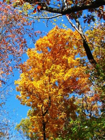 Sau nhà tôi có mấy cây cao mấy chục feet lá vàng rực như thế này
