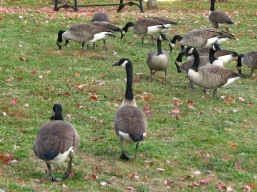 Ngỗng Canada đổi quốc tịch ở luôn trên hồ Watchung không muốn về nước nữa. Sanh con đẻ cháu ở hồ này.