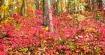 Một khúc rừng, bụi cây thấp toàn là màu hồng