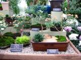 """Nhiều kiểu cúc bonsai như """"mẹ và con,"""" """"cúc chảy theo suối,"""" """"cúc treo"""""""