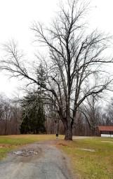 Cây sồi cổ thụ ở đầu một đoạn đường rừng